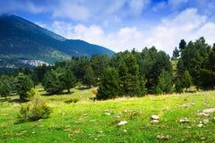 Paysage de montagne d'été avec le verger de pin Images stock