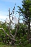 Paysage de montagne de Fitz Roy avec le vieux tronc d'arbre dans la forêt verte, Chalten, Argentine Image libre de droits