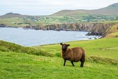 Paysage de moutons noirs et de tête de Slea images libres de droits