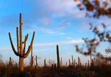 Paysage de parc national de Saguaro Photographie stock libre de droits