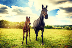 Paysage de pays d'été avec le cheval et le poulain Images stock