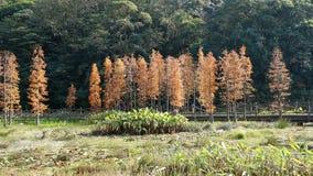 Paysage de pin d'automne Image libre de droits