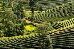 Paysage de planation de thé pendant le matin dans le nord de la Thaïlande Photo libre de droits