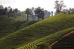 Paysage de planation de thé pendant le matin dans le nord de la Thaïlande Images stock