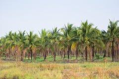 paysage de plantation de cocotier dans le pays tropical Photographie stock libre de droits