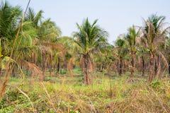 paysage de plantation de cocotier dans le pays tropical Photos stock