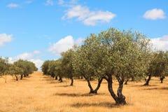 Paysage de plantation d'oliviers Photo stock