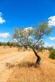 Paysage de plantation d'oliviers Images stock