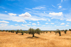 Paysage de plantation d'oliviers Photographie stock libre de droits