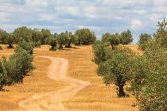 Paysage de plantation d'oliviers Photo libre de droits