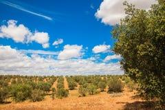 Paysage de plantation d'oliviers Photos libres de droits