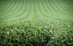 Paysage de plantation de thé vert images libres de droits