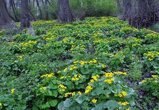 Paysage de ressort avec des palustris de caltha Photos stock