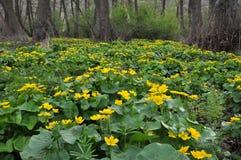 Paysage de ressort avec des palustris de caltha Image stock