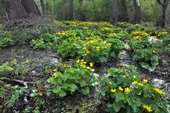 Paysage de ressort avec des palustris de caltha Photographie stock libre de droits
