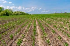 Paysage de ressort avec des rangées des pousses de maïs en Ukraine centrale photos libres de droits