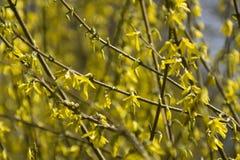 Paysage de ressort avec les fleurs jaunes sensibles de forsythia image libre de droits
