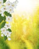 Paysage de ressort avec les fleurs sensibles de jasmin Photographie stock