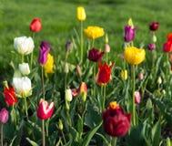 Paysage de ressort avec les tulipes colorées en parc Images stock