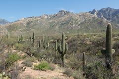 Paysage de Saguaro Image libre de droits