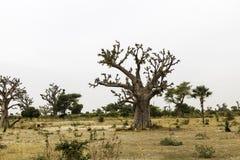 Paysage de Sahel avec un baobab Photos stock
