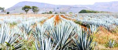 Paysage de tequila d'agave image libre de droits