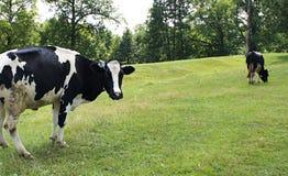 Paysage de vache Photos stock
