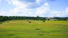 Paysage de vache Photo libre de droits