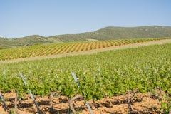 Paysage de vignoble au printemps images stock