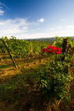 Paysage de vignoble de chianti en automne avec des roses Photographie stock libre de droits