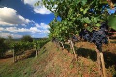 Paysage de vignoble en automne Photographie stock libre de droits