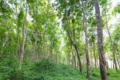 Paysage des arbres en caoutchouc Images stock