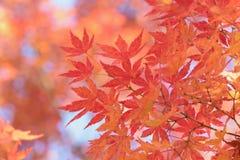 Paysage des feuilles colorées d'Autumn Maple de Japonais Images libres de droits