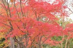 Paysage des feuilles colorées d'Autumn Maple de Japonais Image libre de droits