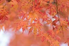 Paysage des feuilles colorées d'Autumn Maple de Japonais Photos libres de droits