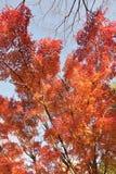 Paysage des feuilles colorées d'Autumn Maple de Japonais Images stock