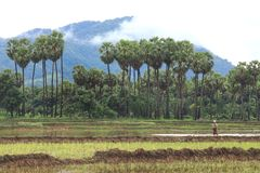 Paysage des gisements et des palmiers de riz dans Myanmar Photo stock