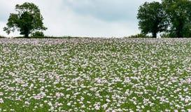Paysage des pavots à opium Photo stock