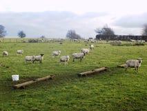 Paysage du Northumberland R-U de moutons photographie stock libre de droits
