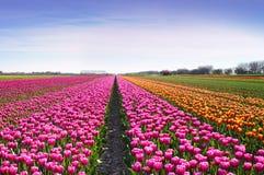 Paysage fantastique avec des rangées des tulipes dans un domaine en Hollande Photos stock