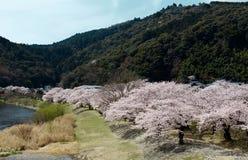 Paysage gentil des arbres de fleurs de cerisier le long de la voie au printemps photo stock