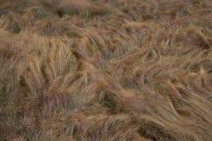 Paysage herbeux ébouriffé par le vent d'or images libres de droits