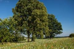Paysage idyllique avec l'arbre et le champ de floraison de pavot Photo libre de droits