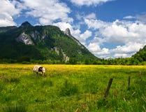 Paysage idyllique dans les Alpes avec des vaches frôlant dans les prés verts frais, l'Ettal et l'Oberammergau, Bavière, Allemagne Photographie stock libre de droits