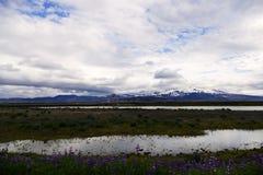 Paysage islandais - fleurs de lupin, un lac et un glacier dans la distance photographie stock libre de droits