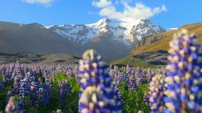 Paysage islandais typique avec le champ des fleurs de loup de floraison clips vidéos
