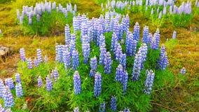 Paysage islandais typique avec le champ des fleurs de loup de floraison banque de vidéos