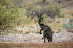 Paysage le long de la commande scénique de Moralana, les chaînes des flinders, SA, Australie images stock