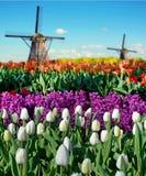 Paysage magique de ressort avec des lits et des moulins à vent de fleur dans Netherl Images stock