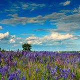 Paysage majestueux avec le champ de floraison merveilleux et le ciel parfait Image stock